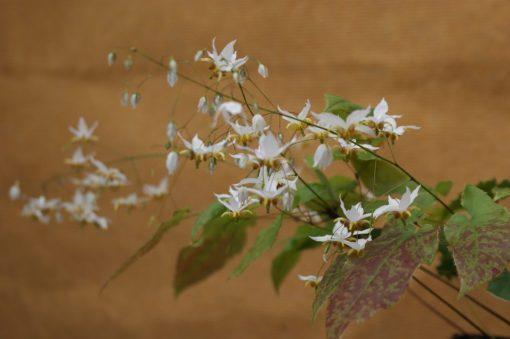 "Epimedium acuminatum x dolichostemon ""Amanogawa"""