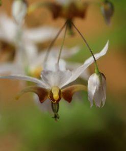 Epimedium acuminatum x dolichostemon