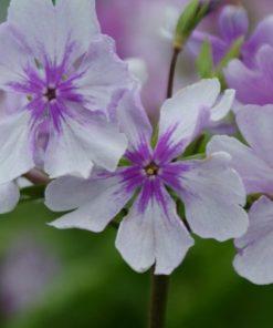 "Primula sieboldii ""Fukiagezakura"""