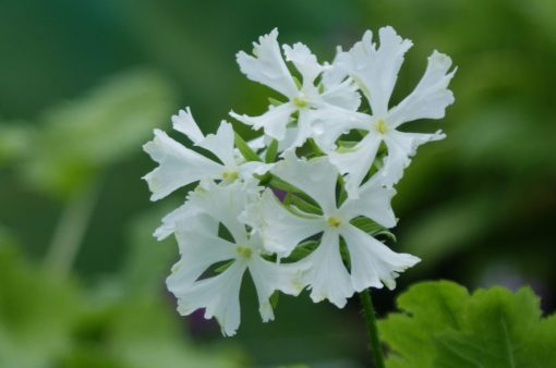 "Primula sieboldii ""Aoyagi-zome"""