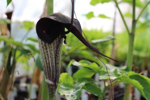 Arisaema thunbergii ssp. urashima