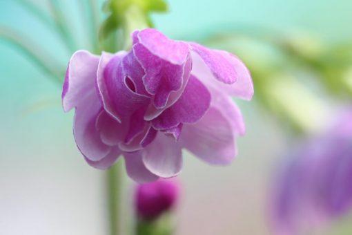 Primula sieboldii 'Hana-komachi'