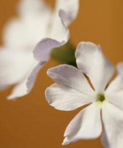 Primula sieboldii 'Tamashiki-no-miya'